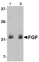 Western blot - Anti-FGF4 antibody (ab106355)
