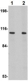 Western blot - Anti-LRFN2 antibody (ab106366)