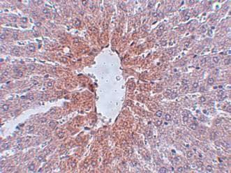 Immunohistochemistry (Formalin/PFA-fixed paraffin-embedded sections) - Anti-JMJD1C antibody (ab106457)