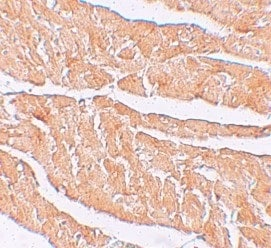 Immunohistochemistry (Formalin/PFA-fixed paraffin-embedded sections) - Anti-ZBTB9 antibody (ab106628)