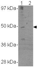 Western blot - TMEM184A antibody (ab106702)