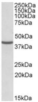Western blot - Anti-NUDC antibody (ab106935)