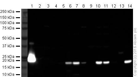 Western blot - Anti-Iba1 antibody (ab107159)
