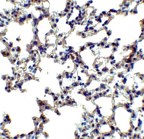 Immunohistochemistry (Formalin/PFA-fixed paraffin-embedded sections) - Anti-Axin 2 antibody (ab107613)