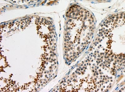 Immunohistochemistry (Formalin/PFA-fixed paraffin-embedded sections) - Anti-GTSF1 antibody (ab107805)