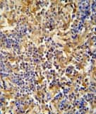 Immunohistochemistry (Formalin/PFA-fixed paraffin-embedded sections) - Anti-IBTK antibody (ab107852)