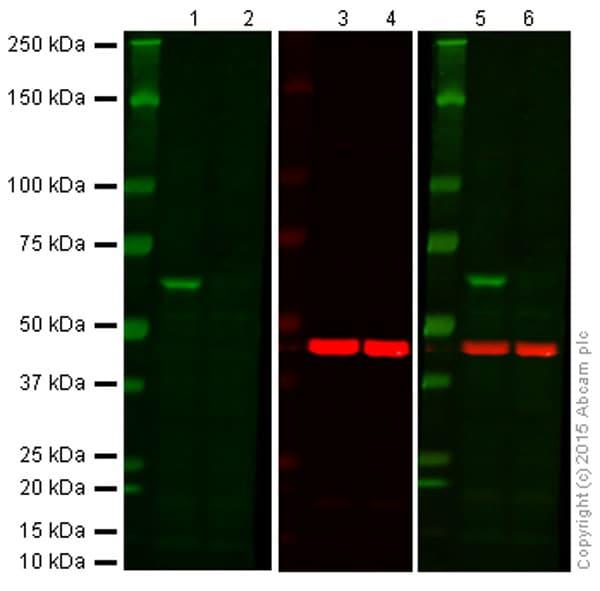 Western印迹-抗AKT1抗体[M1843](AB108202)