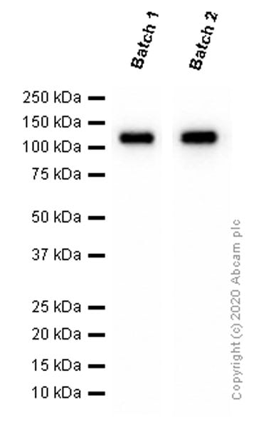 Western blot - Anti-ACE2 antibody [EPR4435(2)] (ab108252)