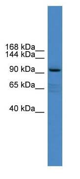 Western blot - Anti-XYLT1 antibody (ab108263)