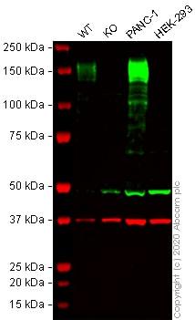 Western blot - Anti-CD13 antibody [EPR4058] (ab108310)