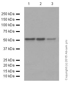 Western blot - Anti-APG5L/ATG5 antibody [EPR1755(2)] (ab108327)