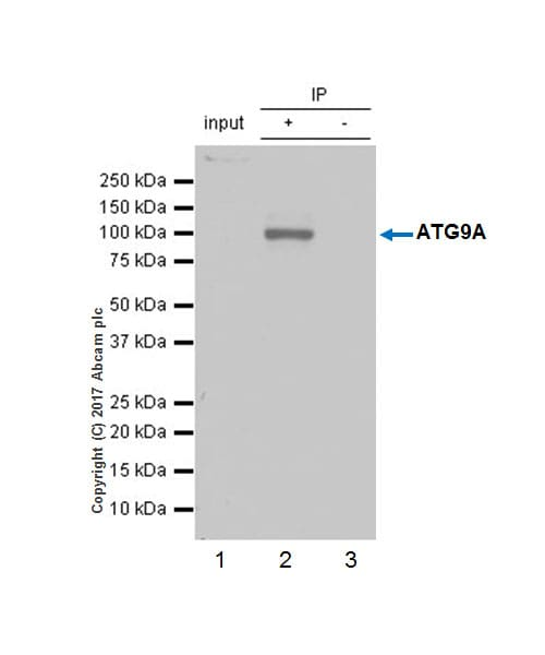 Immunoprecipitation - Anti-ATG9A antibody [EPR2450(2)] (ab108338)