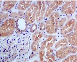 Immunohistochemistry (Formalin/PFA-fixed paraffin-embedded sections) - Anti-CDC45L antibody [EPR5758] (ab108350)