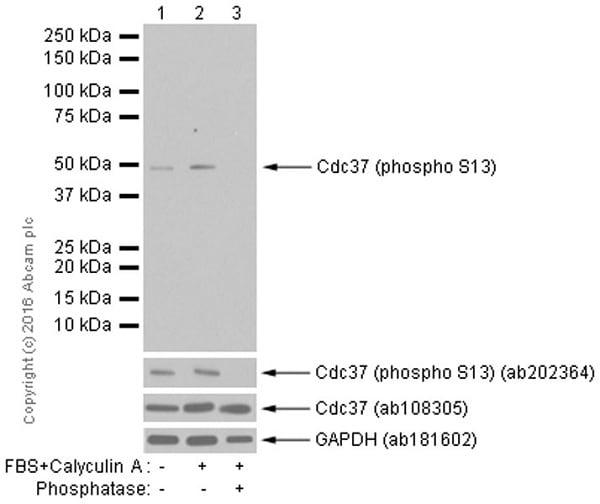 Western blot - Anti-Cdc37 (phospho S13) antibody [EPR4879] (ab108360)