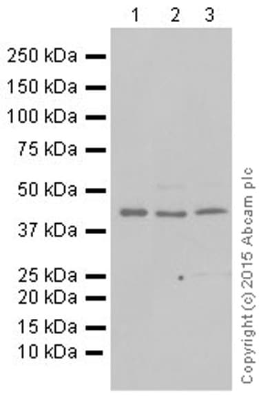 Western blot - Anti-DRAK2 antibody [EPR3163Y] (ab108373)