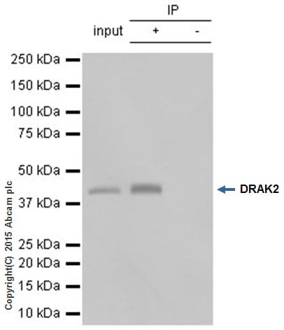 Immunoprecipitation - Anti-DRAK2 antibody [EPR3163Y] (ab108373)
