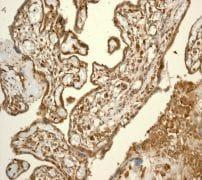 Immunohistochemistry (Formalin/PFA-fixed paraffin-embedded sections) - Anti-CSPS antibody [EPR3720(2)] (ab108401)