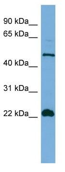 Western blot - Anti-Hemogen antibody (ab108430)