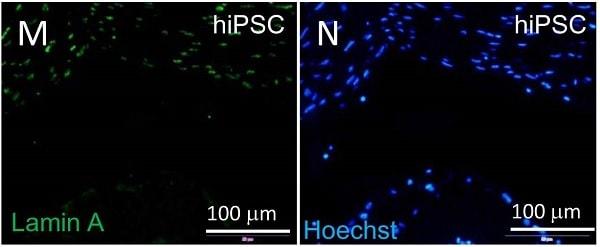 免疫细胞化学/免疫荧光-抗层粘连蛋白A+层粘连蛋白C抗体[EPR4100]-核膜标记(ab108595)