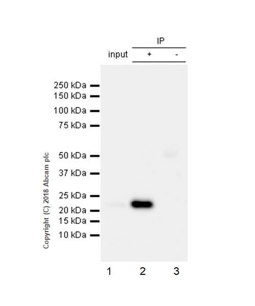 Immunoprecipitation - Anti-Rab4 antibody [EPR3043] - Early Endosome Marker (ab109009)