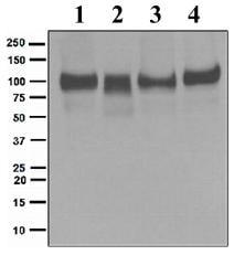 Western blot - ITCH/AIP4 antibody [epr4937] (ab109018)