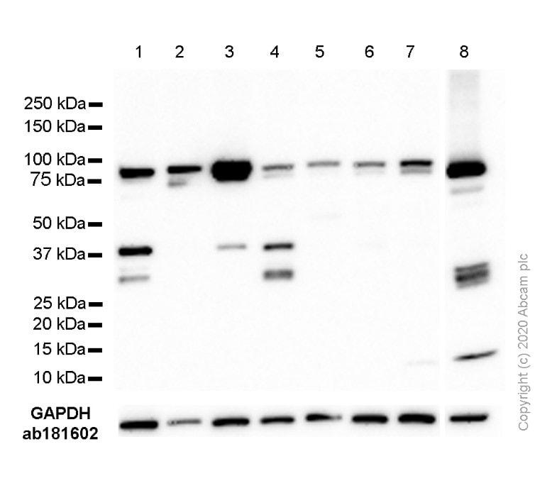 Western blot - Anti-STAT3 antibody [EPR361] (ab109085)