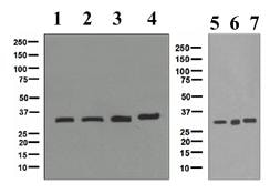 Western blot - Anti-TFIIB antibody [EPR4589] (ab109106)