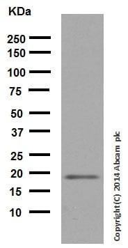 Western blot - Anti-p21 antibody [EPR3993] (ab109199)