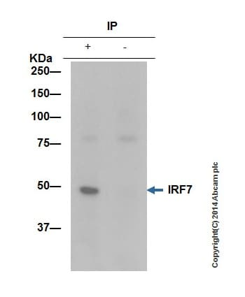 Immunoprecipitation - Anti-IRF7 antibody [EPR4718] (ab109255)