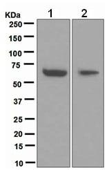 Western blot - Anti-Cdc6 antibody [EPR714(2)] (ab109315)