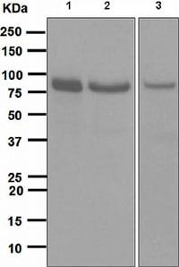 Western blot - Anti-STAT1 antibody [EPR4407] (ab109320)