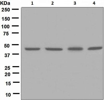 Western blot - Anti-NUDC antibody [EPR5072] (ab109370)