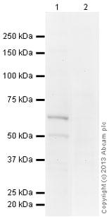 Western blot - Anti-CENPT antibody (ab109470)
