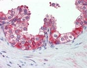 Immunohistochemistry (Formalin/PFA-fixed paraffin-embedded sections) - Anti-Hsp90 antibody (ab109704)