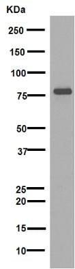 Western blot - Anti-NAK/TBK1  antibody [EPR2867(2)-19] (ab109735)