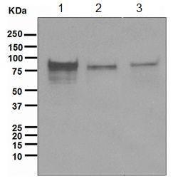 Western blot - Anti-TORC1 antibody [EPR3381(2)] (ab109736)