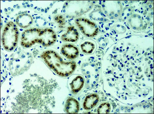 Immunohistochemistry (Paraffin-embedded sections) - Anti-ACTR1A antibody (ab11009)
