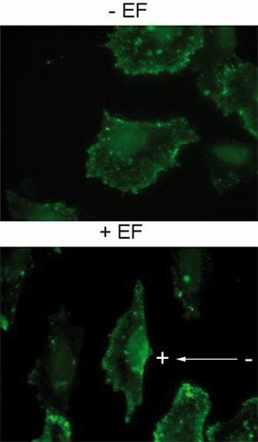 Immunocytochemistry/ Immunofluorescence - Anti-PIP2 antibody [2C11] (ab11039)