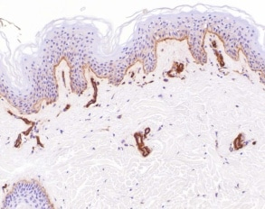 Immunohistochemistry (Formalin/PFA-fixed paraffin-embedded sections) - Anti-Laminin antibody (ab11575)
