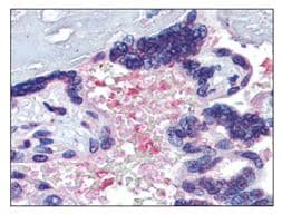 Immunohistochemistry (Formalin/PFA-fixed paraffin-embedded sections) - Anti-Hemopexin antibody (ab110126)