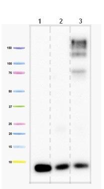 Western blot - Anti-Complex IV subunit VIIaHL antibody [6D7G8E5BH11] (ab110268)