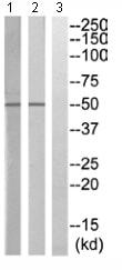 Western blot - Anti-KIR2.3 antibody (ab110701)