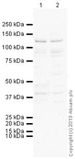 Western blot - Anti-STIL antibody (ab110797)