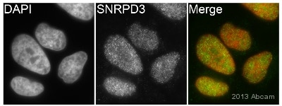 Immunocytochemistry/ Immunofluorescence - Anti-SNRPD3 antibody (ab111094)
