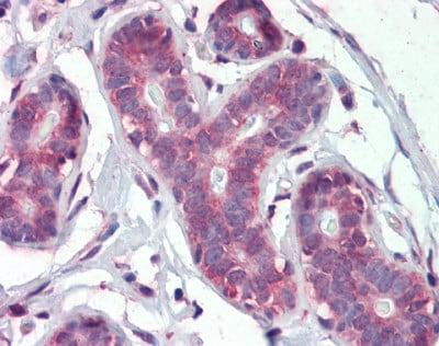 Immunohistochemistry (Formalin/PFA-fixed paraffin-embedded sections) - Anti-IMPDH1 antibody (ab111229)