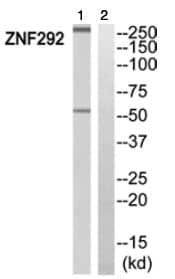 Western blot - Anti-ZNF292 antibody (ab111438)