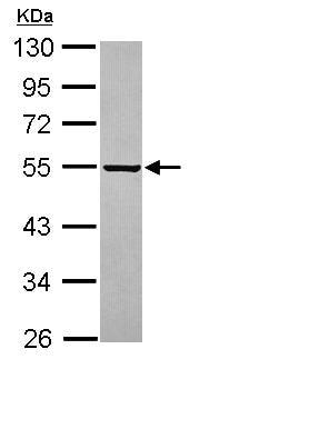 Western blot - Anti-PARS2 antibody (ab111561)