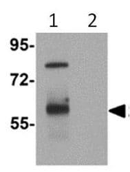Western blot - Anti-TYW3 antibody (ab112570)