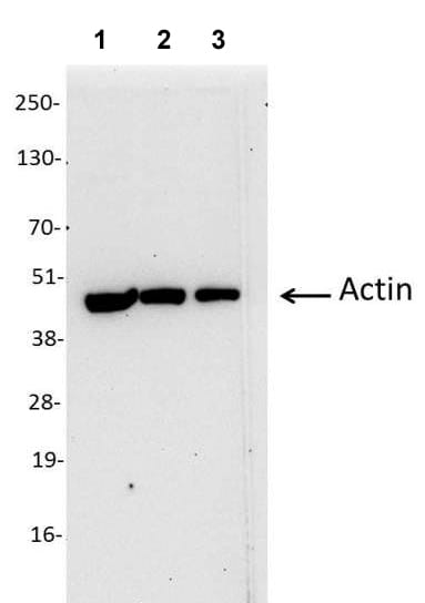 Western blot - Anti-Actin antibody (Biotin) (ab113279)