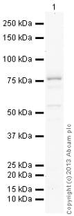 Western blot - Anti-GALNT7 antibody (ab113743)